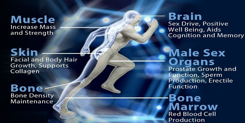 Testosterone functions