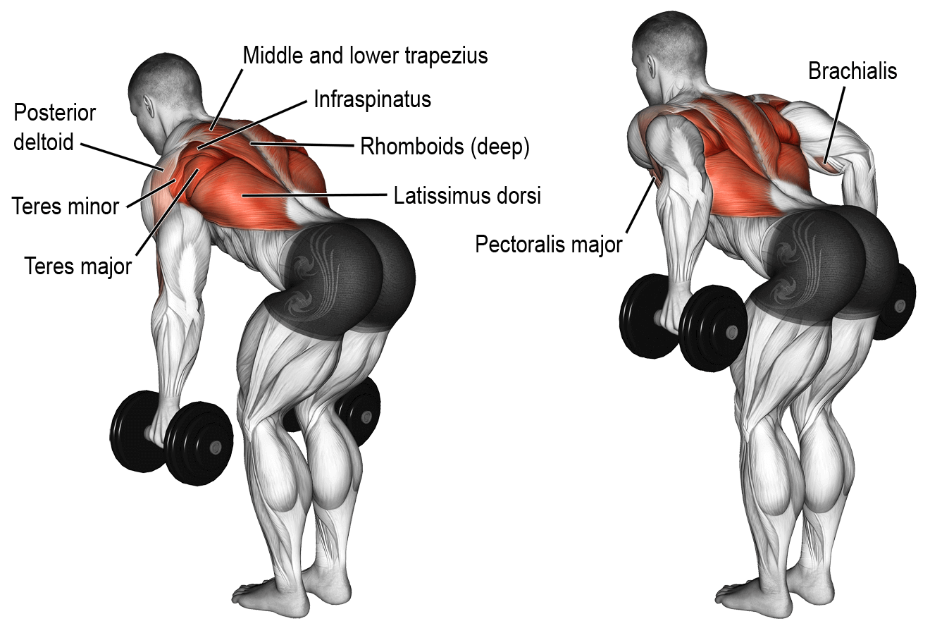 Dumbbells Standing Bent Over